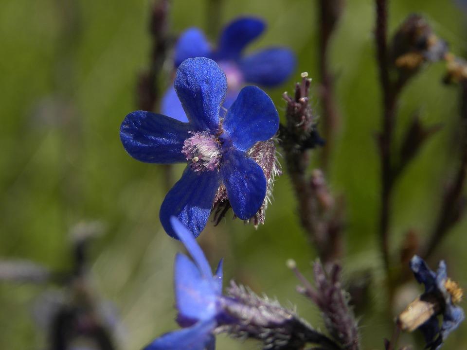 Flower, Blue, Petals, Lilac