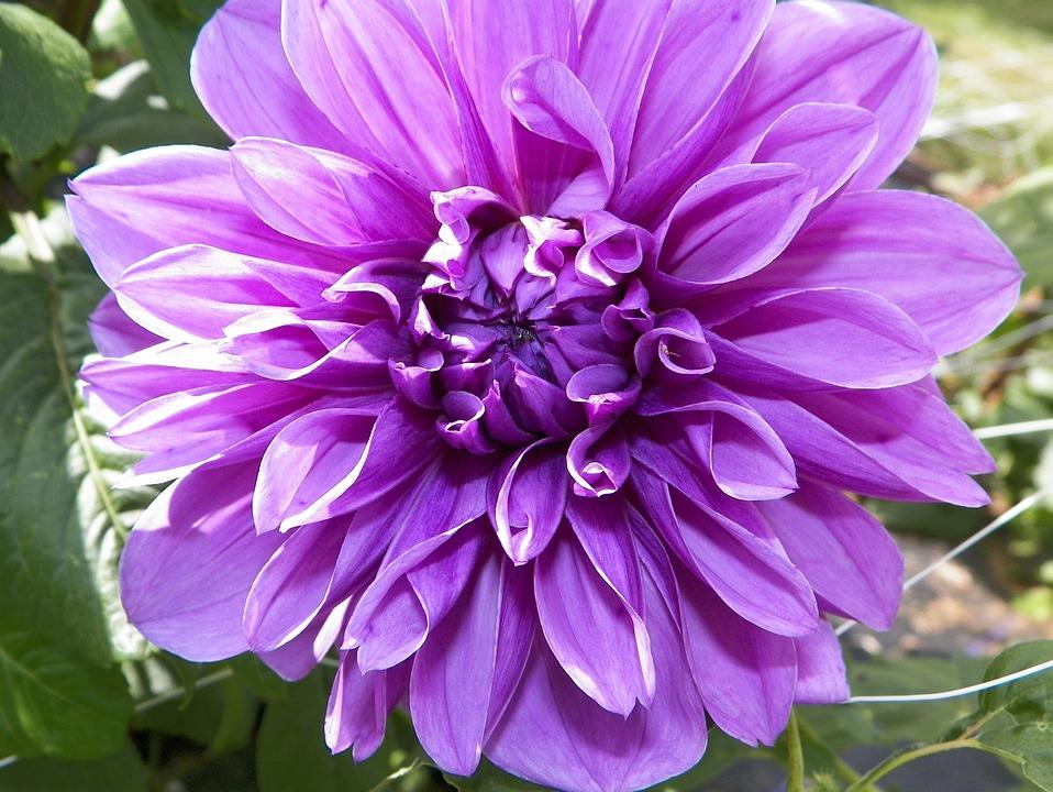 Dahlia, Lilac, Floral, Wildflower, Flower, Plant