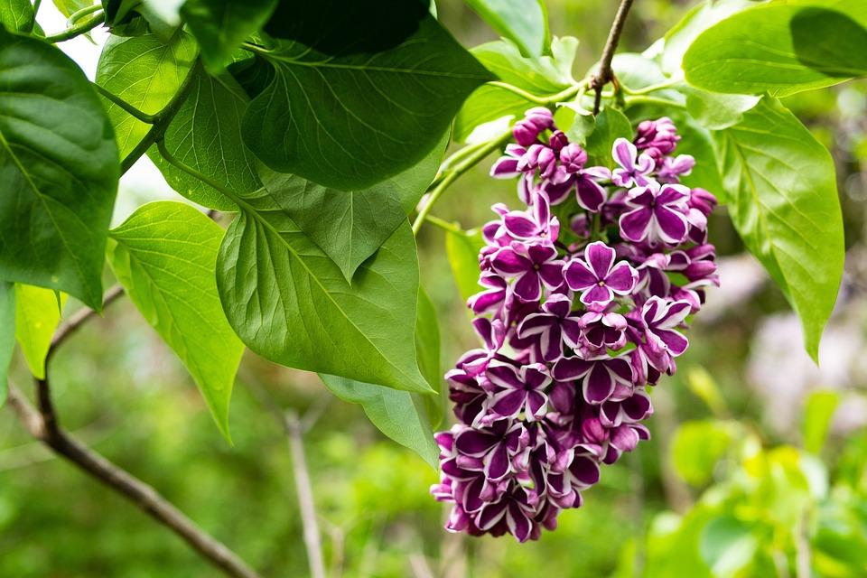 Lilac, Rare Color Combination