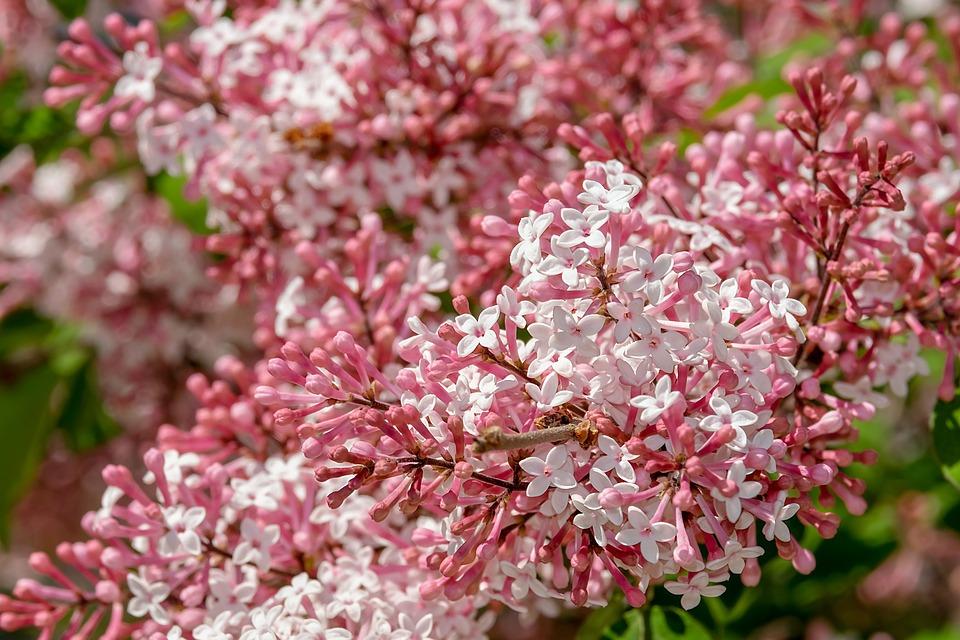Free photo lilac small leaf lilac flowers bloom pink white max pixel lilac small leaf lilac flowers bloom pink white mightylinksfo