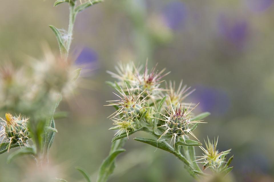 Thorns, Lilac, Field, Wild, Thorny, Hawthorn