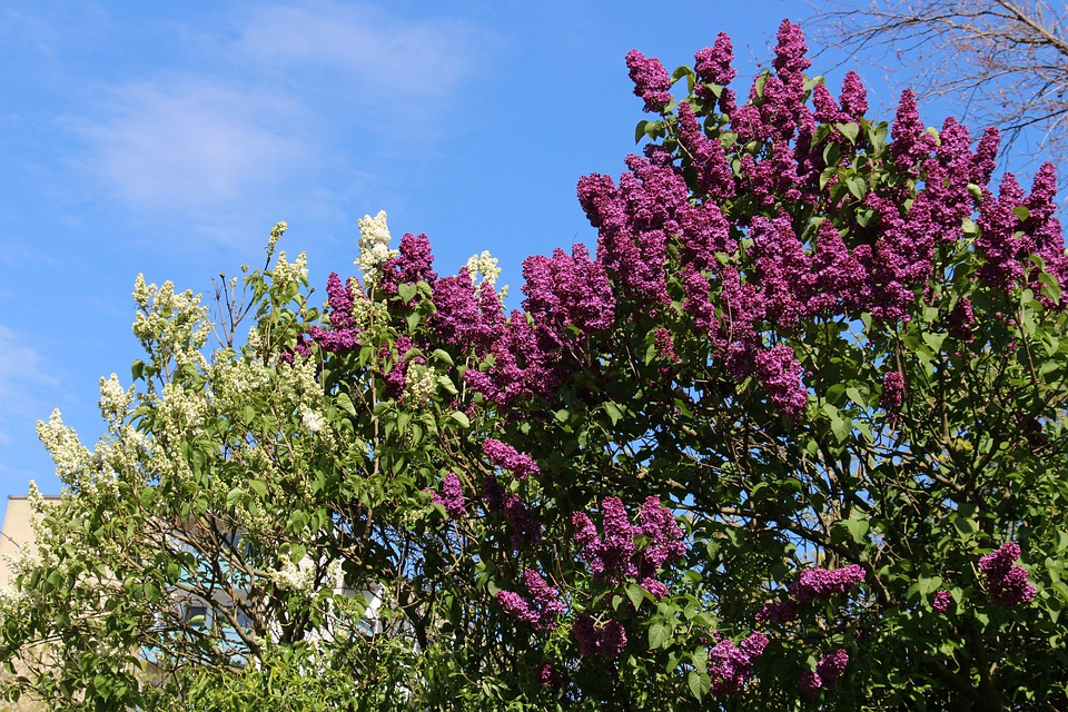 Lilac, Purple, White, Green, Sky, Clouds, White Lilac