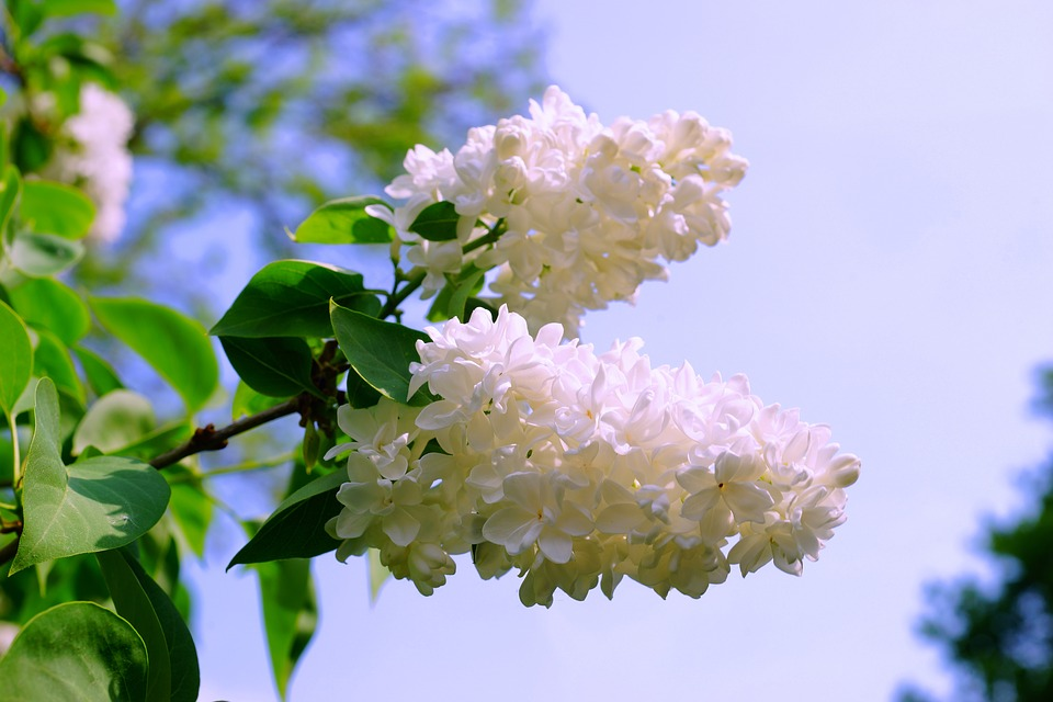 Lilac, White, White Lilac, Nature, Blossom, Bloom