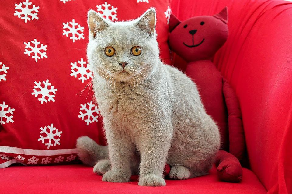British Shorthair, Cat, Young, Young Cat, Grey, Lilac