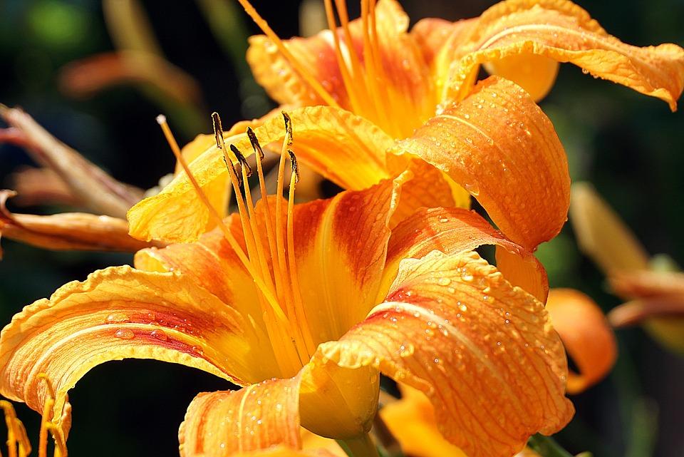Lilies, Flowers, Dew, Dewdrops, Orange Lilies, Petals