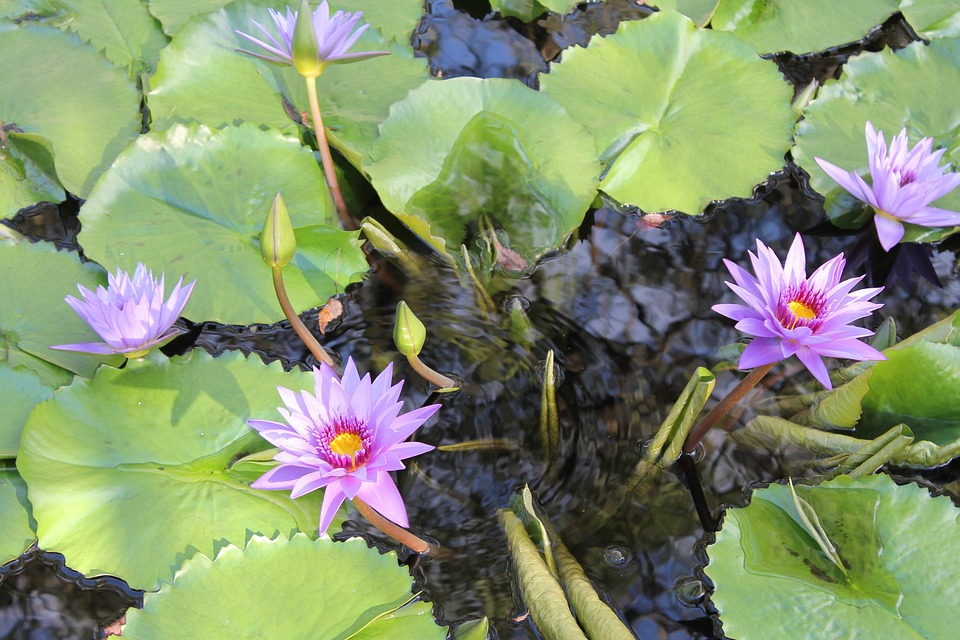 Flower, Lilly Pad, Water, Green, Plants, Pad, Lilly