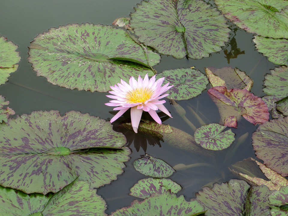 Water, Lilies, Water Lily, Flower, Lotus, Lily, Aquatic