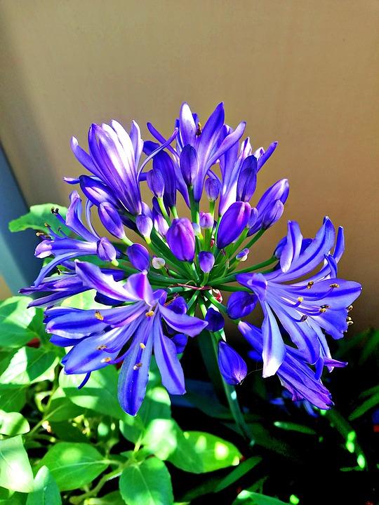 Agapanthus, Flower, Blossom, Bloom, Lily, Blue, Garden