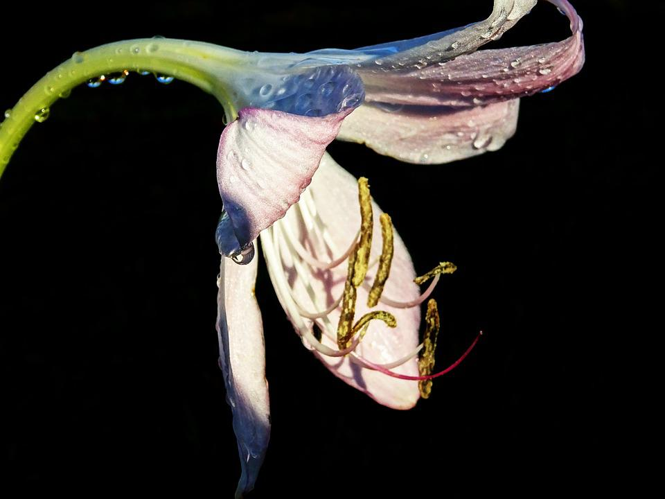Lily, Drop Of Water, Pistil, Close