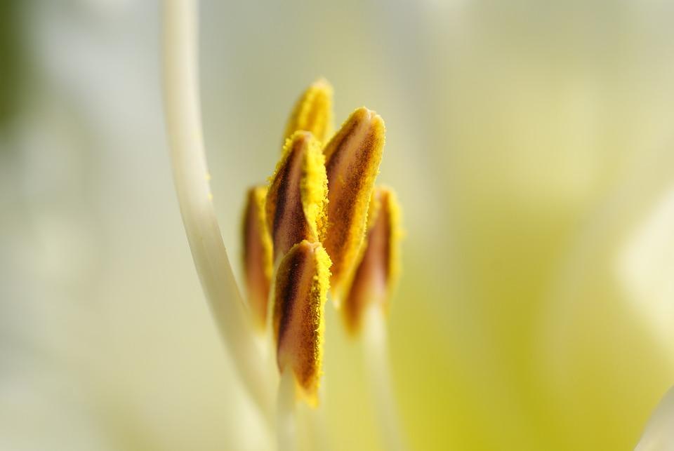 Lily, Shrub, Nature, Plant, Pistil, Pollen, Filligran