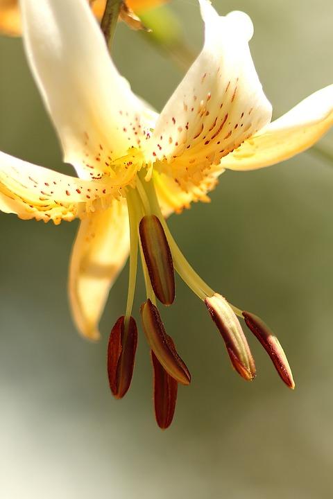 Yellow Flower, White Flower, Lily, Pollen, Plant, Flora