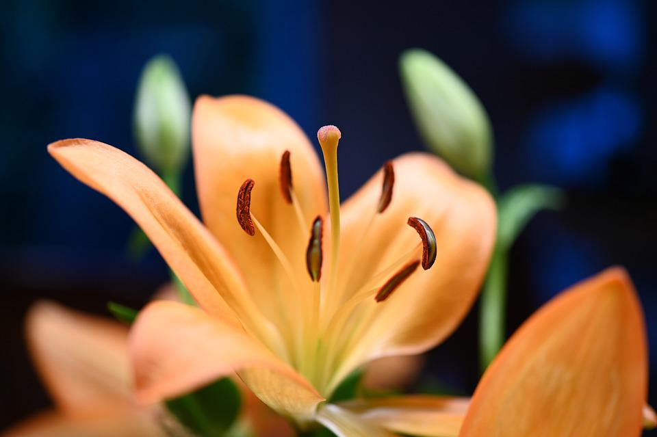 Lily, Flower, Blossom, Bloom, Pistils, Orange Flower