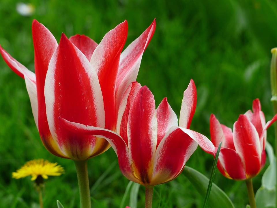 Tulip, Red, White, Lily Flowered Tulip