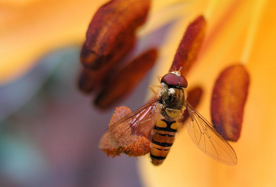 Fly, Lily, Insect
