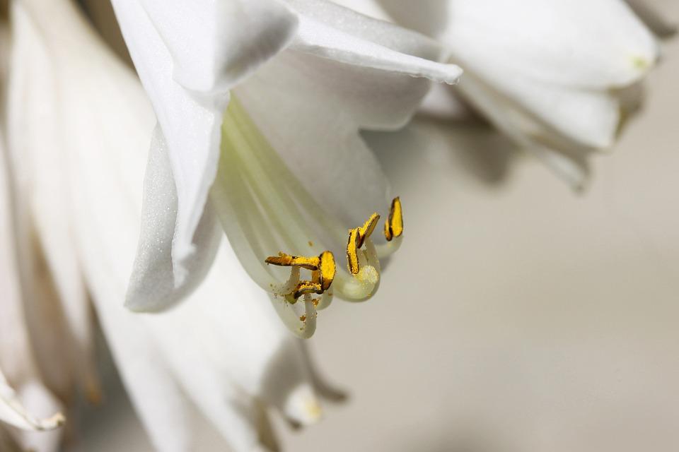 Lily, Plant, Flower, Nature, Macro, Stamen, White