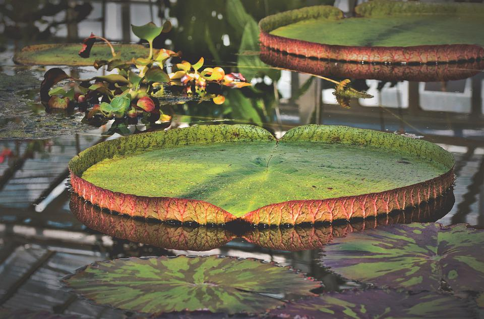 Lily Pad, Water Lily, Lake Rose, Aquatic Plant