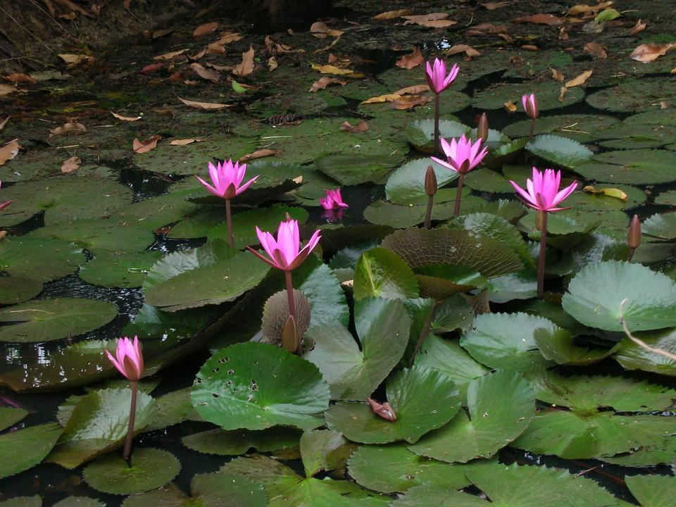 Lotus Pond, Cambodia, Lily Pads, Serenity, Peaceful