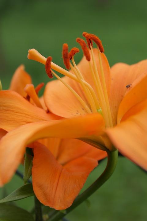 Lily, Orange, Pistil, Flower