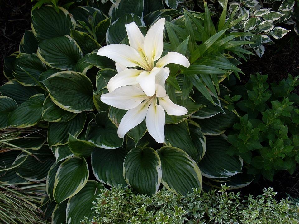 Lily, Flower, Blossom, Bloom, White, Plant