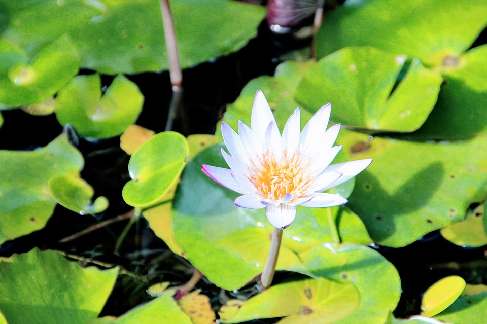 Water Lily, Rose, Lily Pond, Pond, Nature, Garden Pond