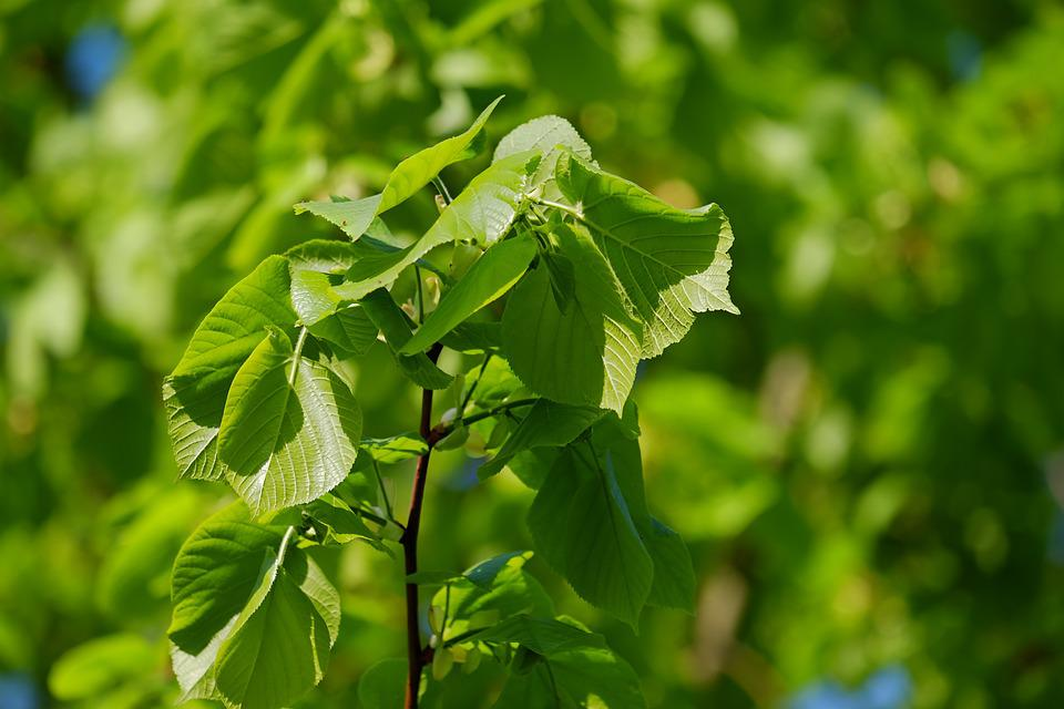 Linde, Lime, Deciduous Tree, Leaves, Light, Shadow