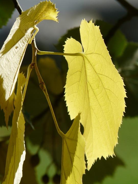 Lipovina, Leaves, Leaf Margin, Jagged, Linde, Light