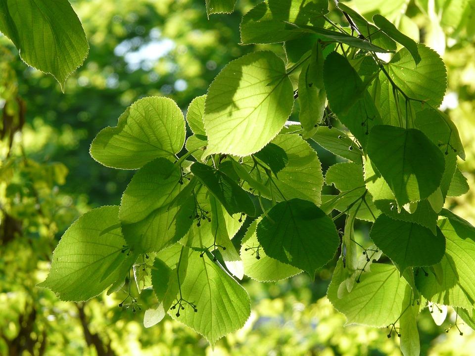 Pods, Lime Blossom, Linde, Winter Linde, Stone Linde
