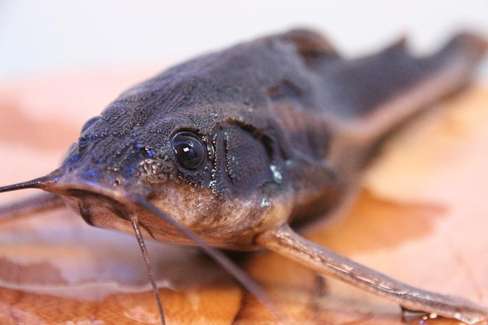 Line Of Thorny Catfish, Fish, Wels, Aquarium, Animal