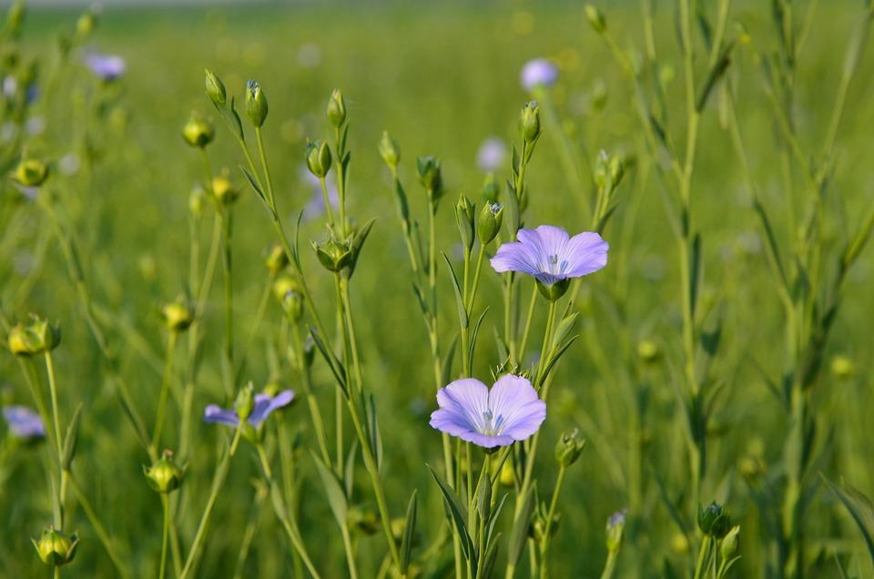 Flowers, Linen Flower, Field, Linen, Meadow