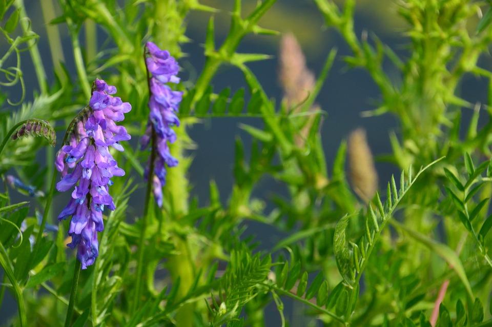 Vicia Cracca, Linnaeus, Jarosse, Fabaceae, Paths, Slope