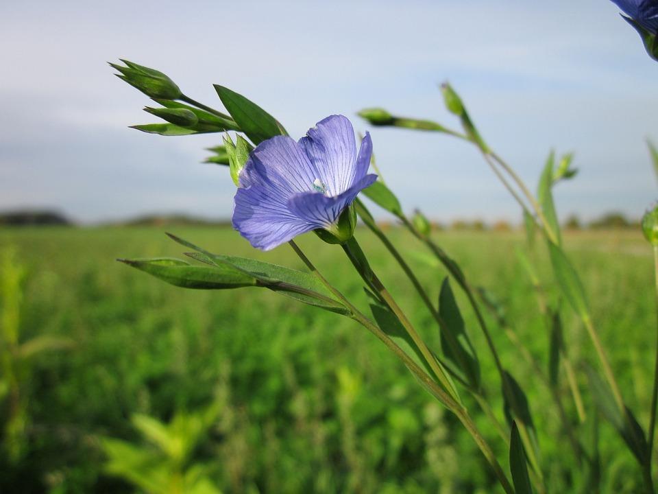 Linum Usitatissimum, Flax, Common Flax, Linseed