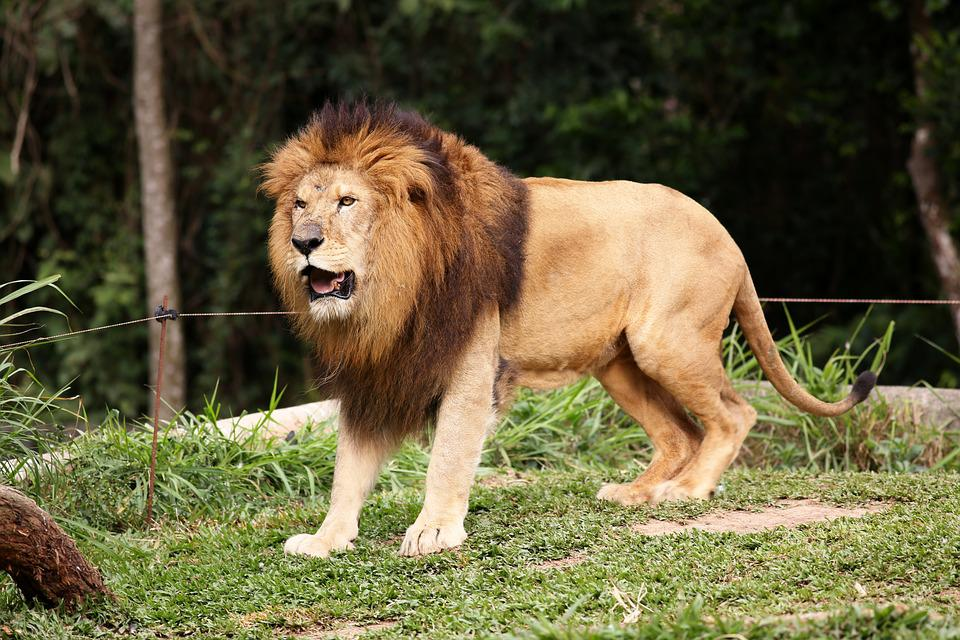 Free photo Lion Animal Carnivore King Of The Jungle Brave ...