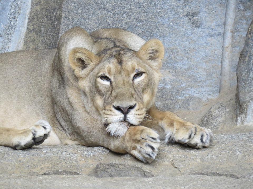 Lion, Lioness, Animal World, Predator, Africa, Animal