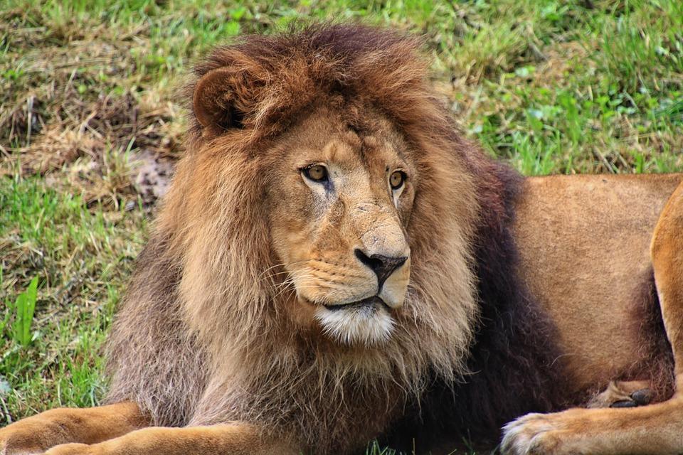 Lion, Predator, Animal World, Animal, Male, Dangerous