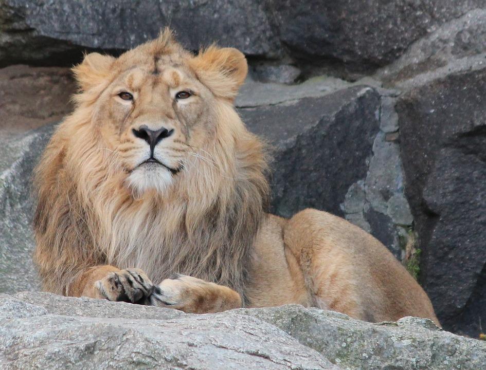 Lion, Animal, Zoo