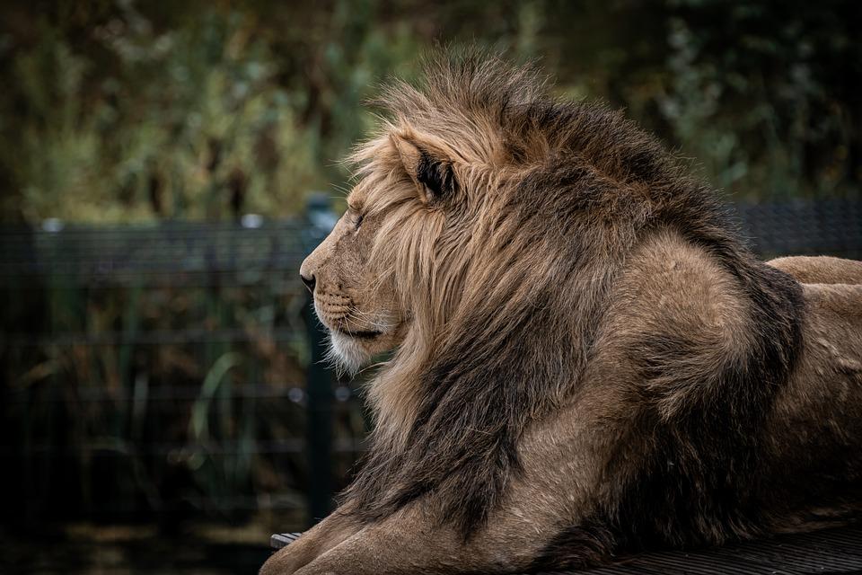 Lion, Zoo, Predator, Mane, Big Cat, Wild Animal