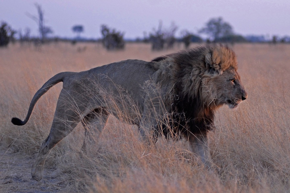 Lion, Botswana, Savuti, Predator