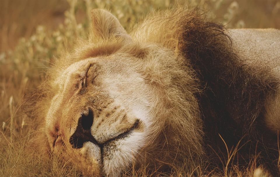 Lion, Feline, Cat, Wild, Mane, Mammal, Animal, Predator