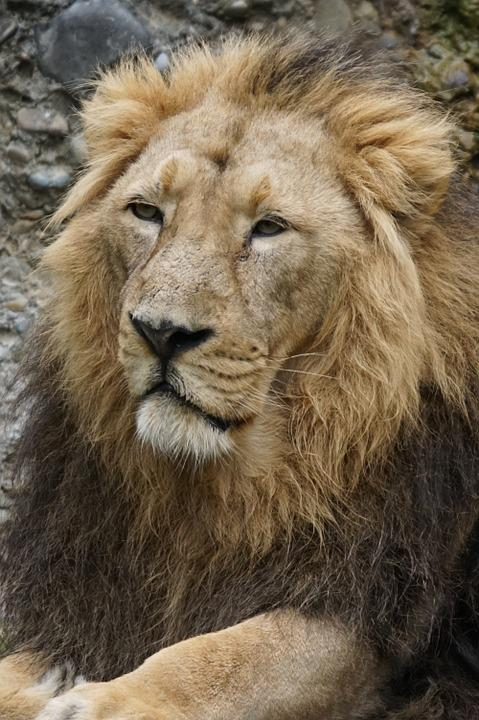 Indian Lion, Lion, Cat, Male, Predator