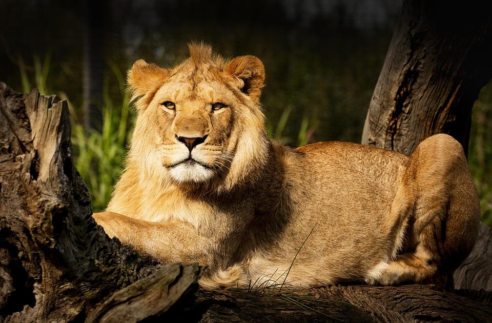 Lion, Fur, Animal, Safari, Wildlife, Cat, Predator