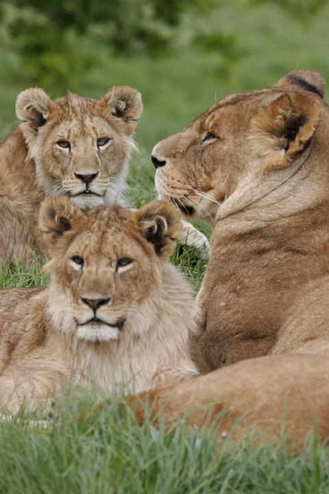 Lioness, Lion Cubs, Lion, Cub, Africa, Carnivore, Pride