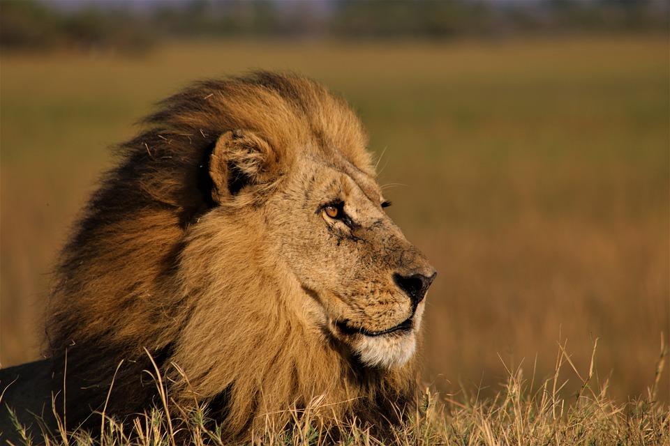 Lion, Male Lion, King Of The Jungle, Animal, Dangerous