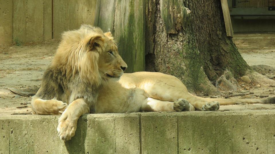 National Zoo, Washington, Lion, Usa, Dc, Park