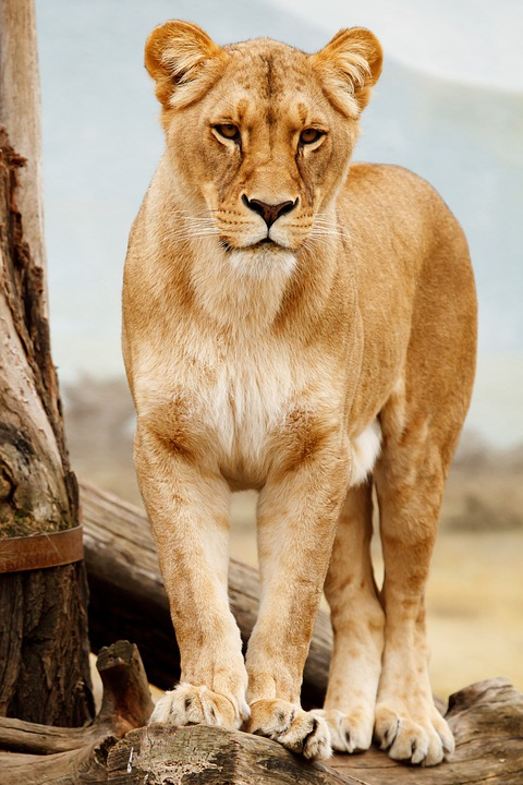Lion, Lioness, Cat, Wild Cat, Big Cat, Feline
