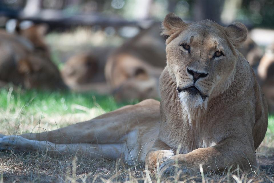 Lion Females, Lion, Animal