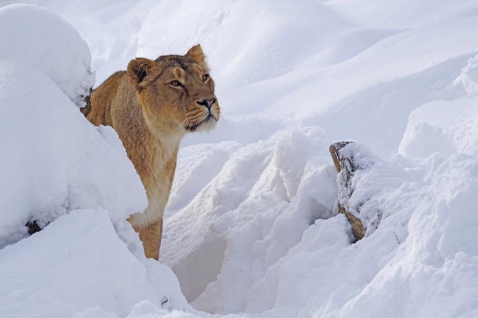 Zoo, Lion Females, Predator