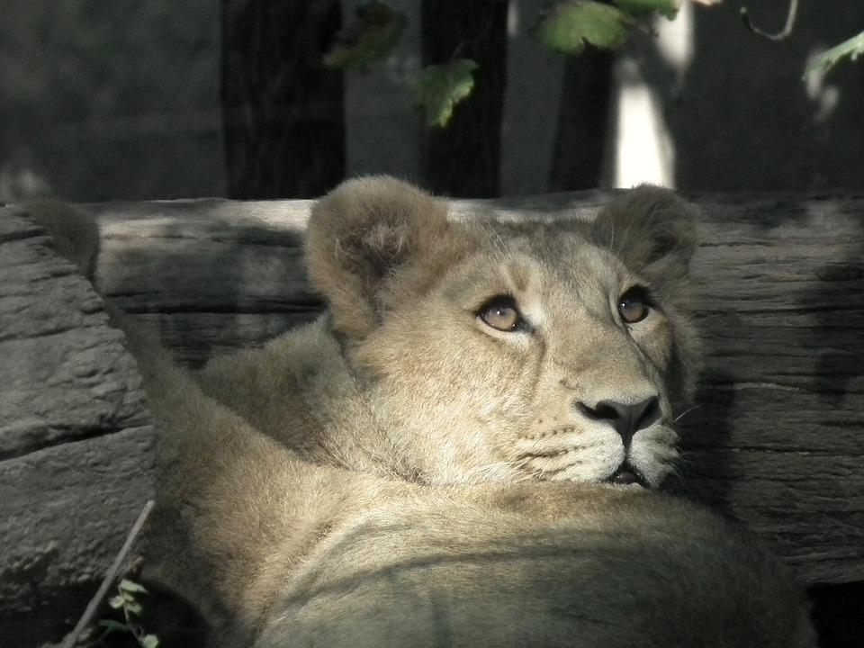 Lion, Lioness, Cat, Wildcat, Großkartze, Lion Females