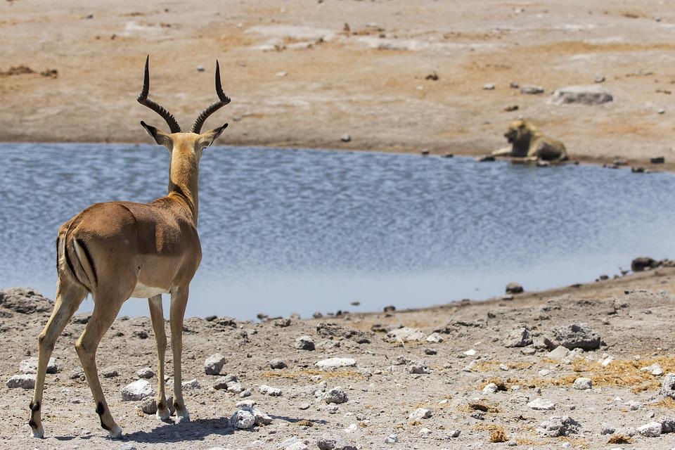 Springbok, Animal, Lion, Water, Hole, Water Hole