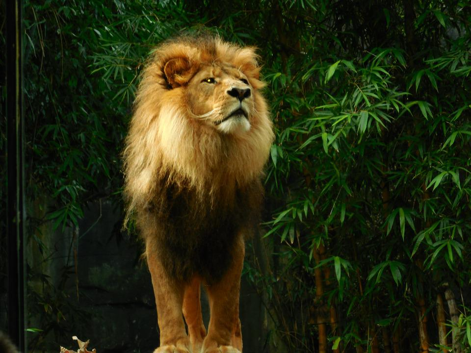 Free Photo Lion King Predator Animal Wildlife Lion Nature