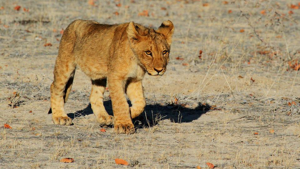 Lion, Etosha, Namibia, Africa, Safari, Lion Cub